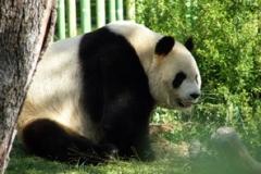 ¡Mira el oso panda!